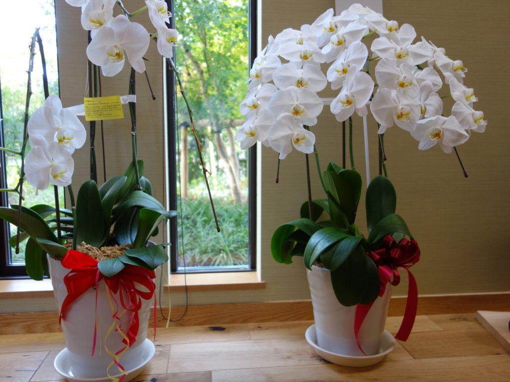 胡蝶蘭の花とアメジストジオードの浄化力