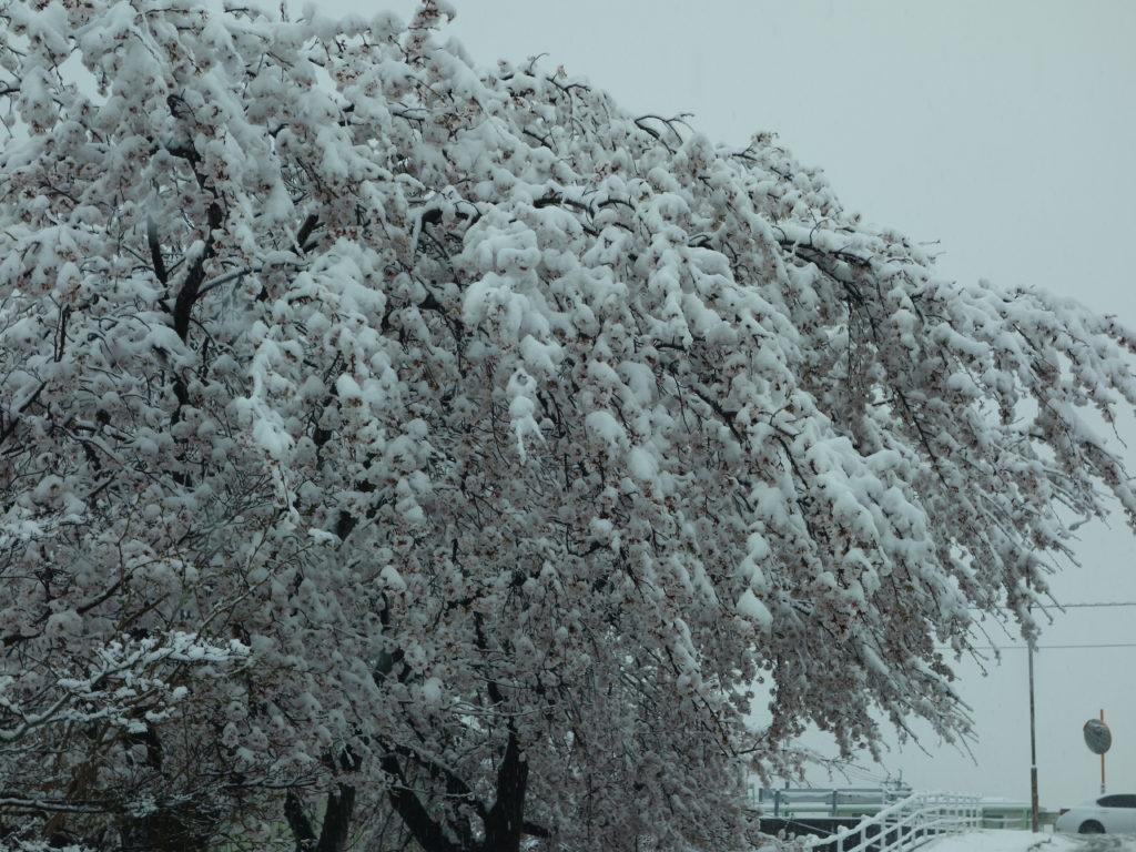 玉垣からの風景㊴満開の雪桜