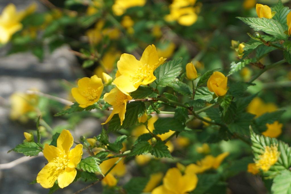 玉垣からの風景㊸ヤマブキの花と筍