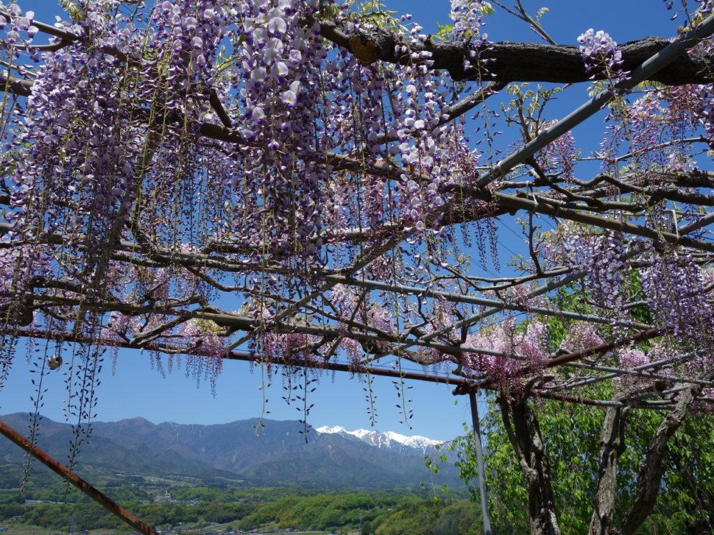 藤の花と奈良春日大社