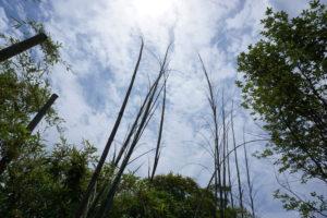 玉垣からの風景-51「天を突く竹」-01