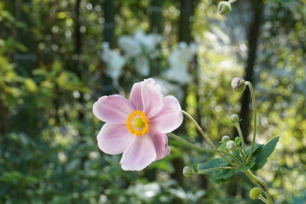 玉垣からの風景 秋明菊