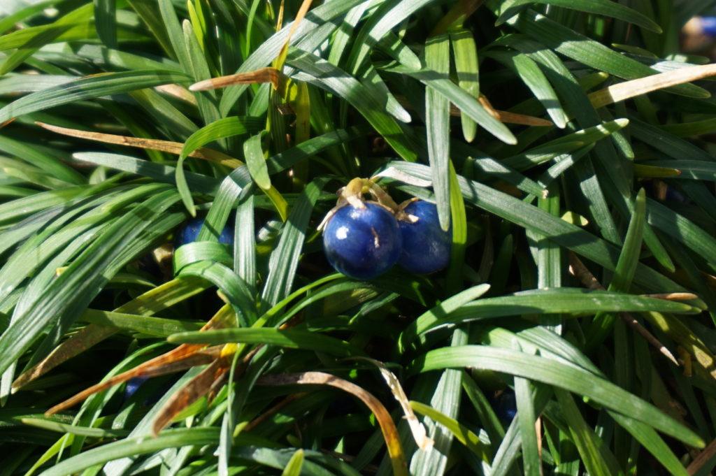 玉垣からの風景 玉竜の青い実とラピスラズリ