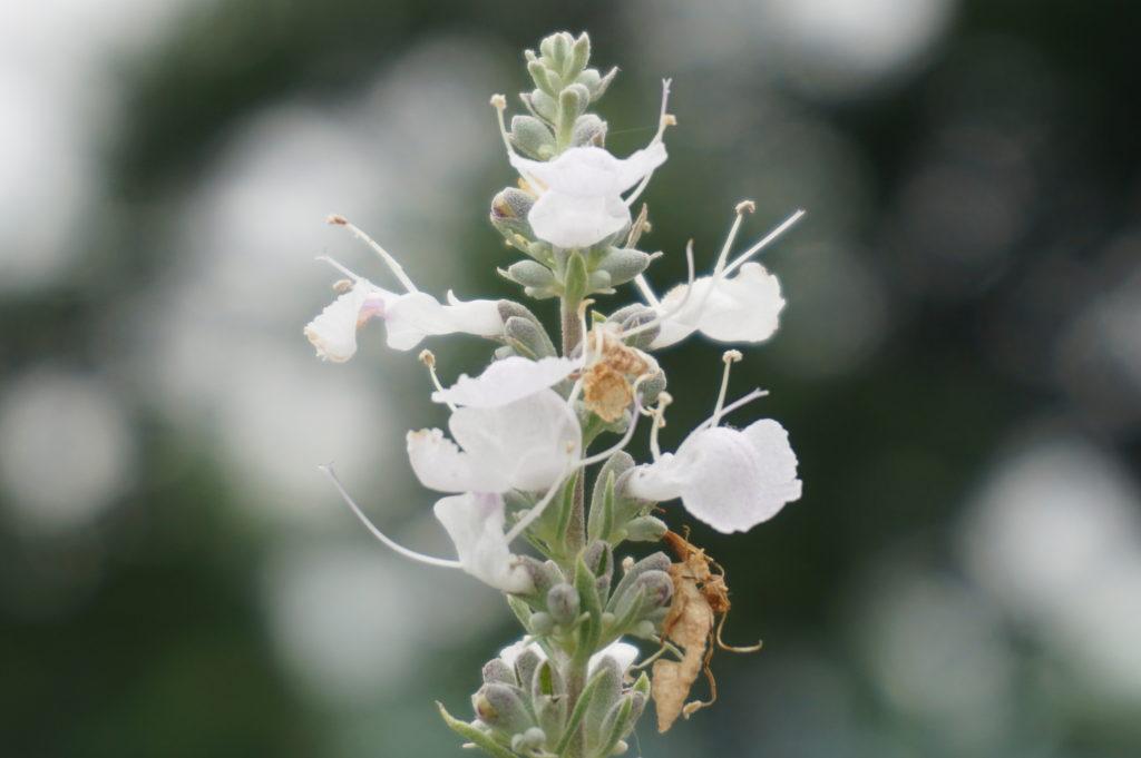 玉垣からの風景 ホワイトセージを育てる  ホワイトセージの花