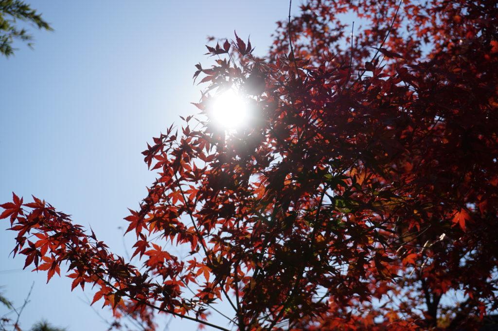 玉垣からの風景 深まる秋 紅葉 楓  シュウメイギク
