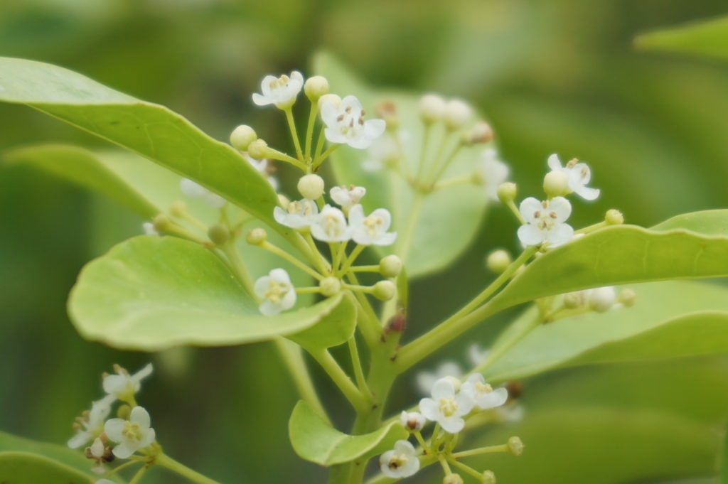 玉垣からの風景 ソヨゴ オリーブ トネリコ の花