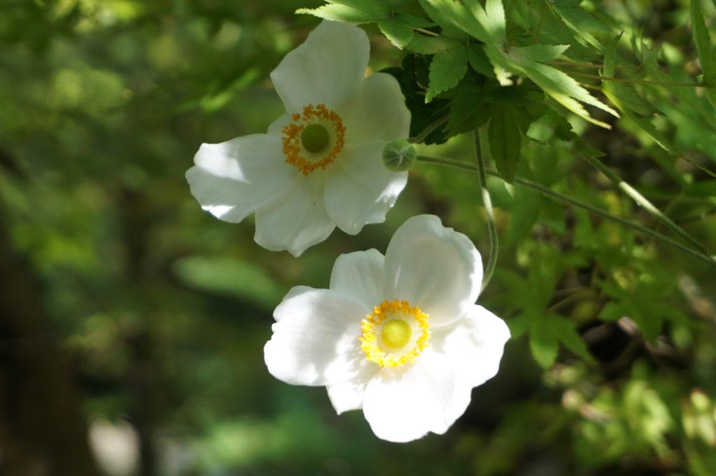玉垣からの風景 秋明菊(シュウメイギク) キバナコスモス リトルマミー